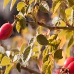 ambar argentina aceite organico cosmetico rosa mosqueta directorio sustentable