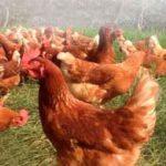 avicola la saraviada colombia