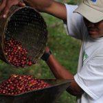 cafe selva organico chiapas mexico directorio sustentable